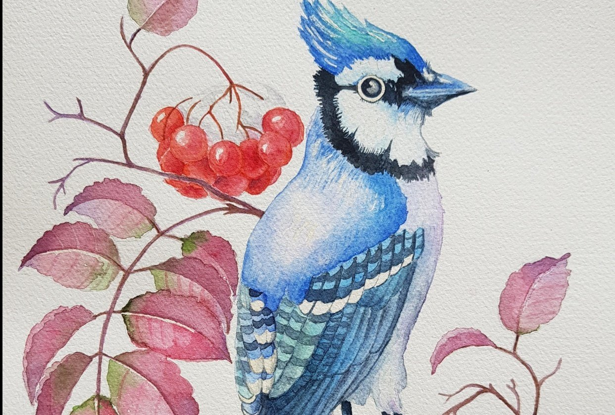 watercolor bluejay and rowan berries - student project