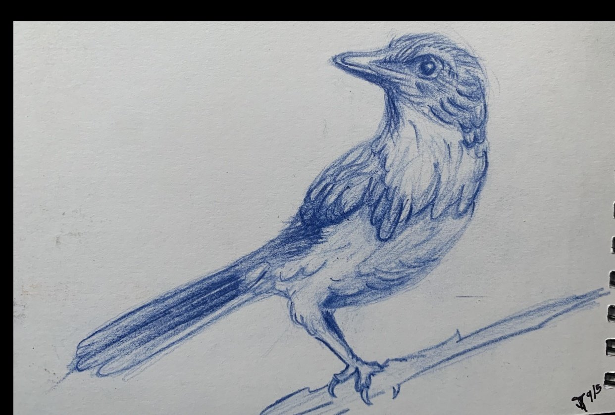 Scrub Jay drawing - student project