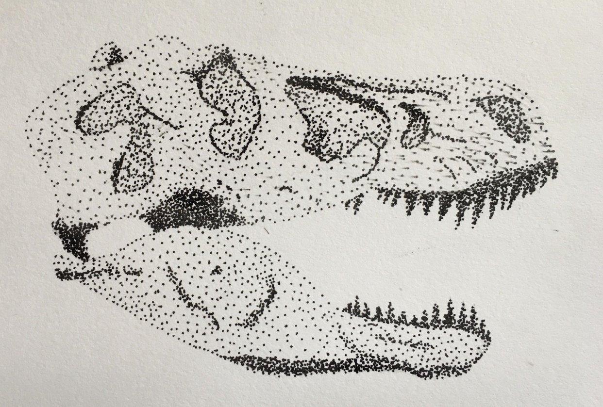 Tyrannosaurus rex skull - student project