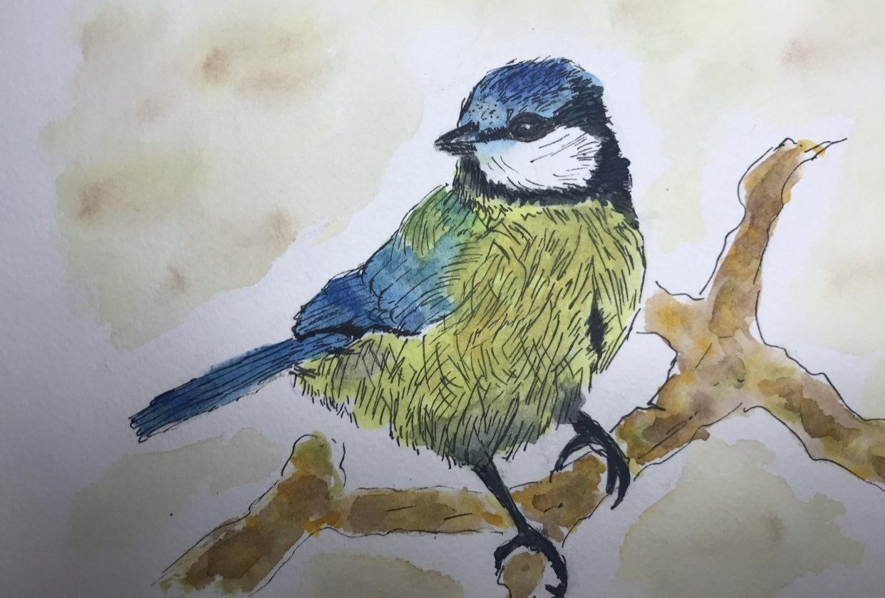 Blue Tit Line and Wash - student project