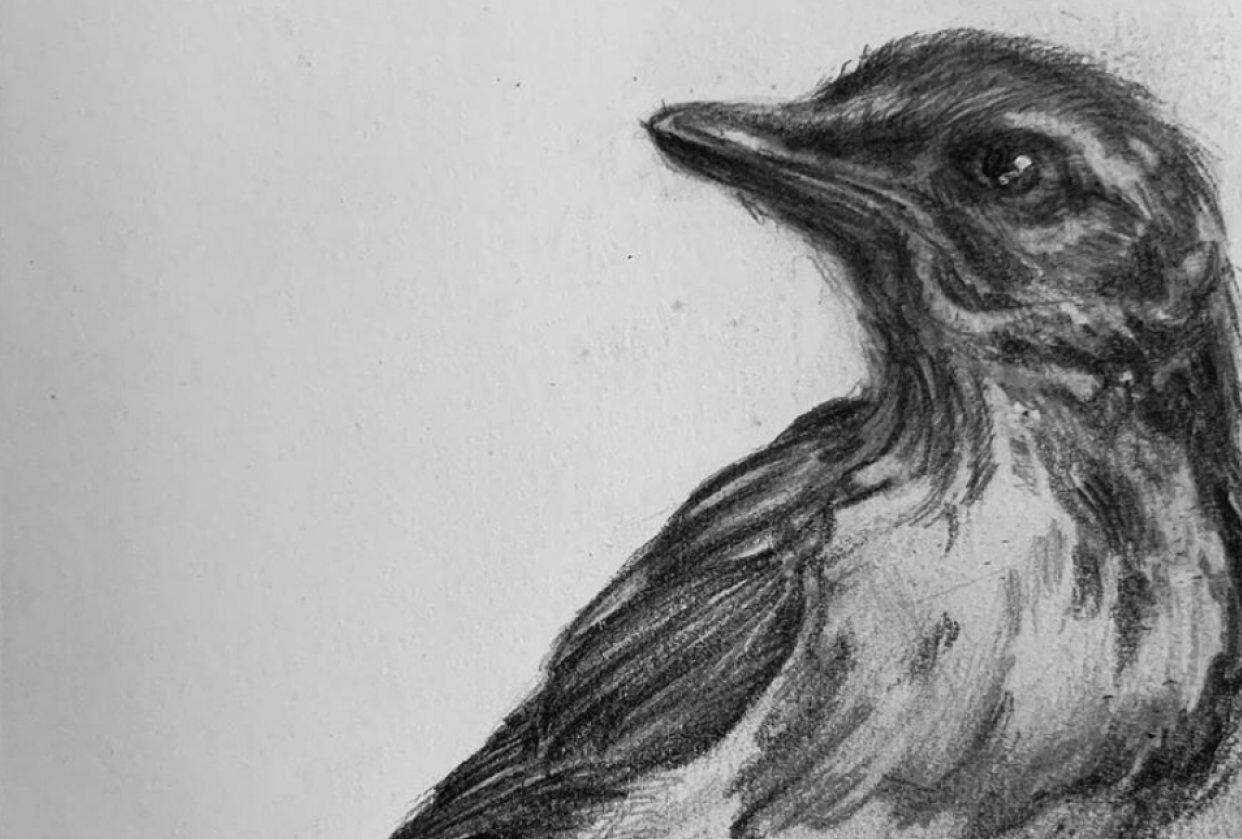study of a scrub jay - student project