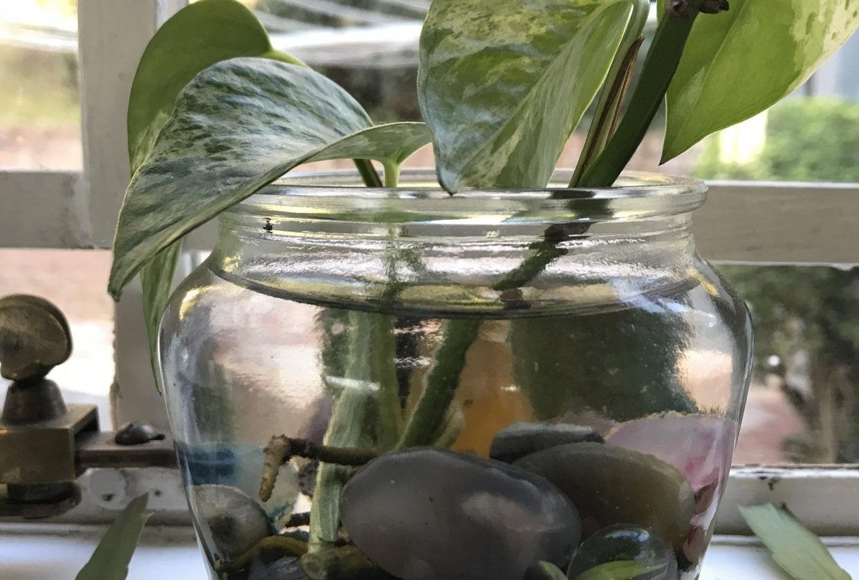 Rooting cuttings in water - student project