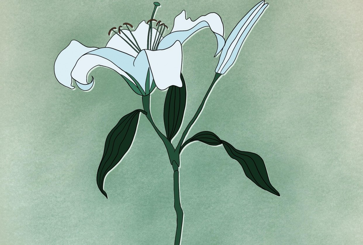 Botanical Illustration: The Lily - student project