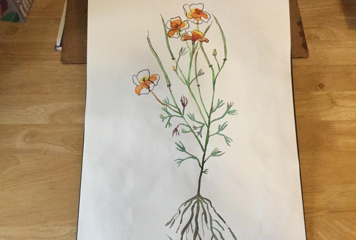 California Poppy - student project