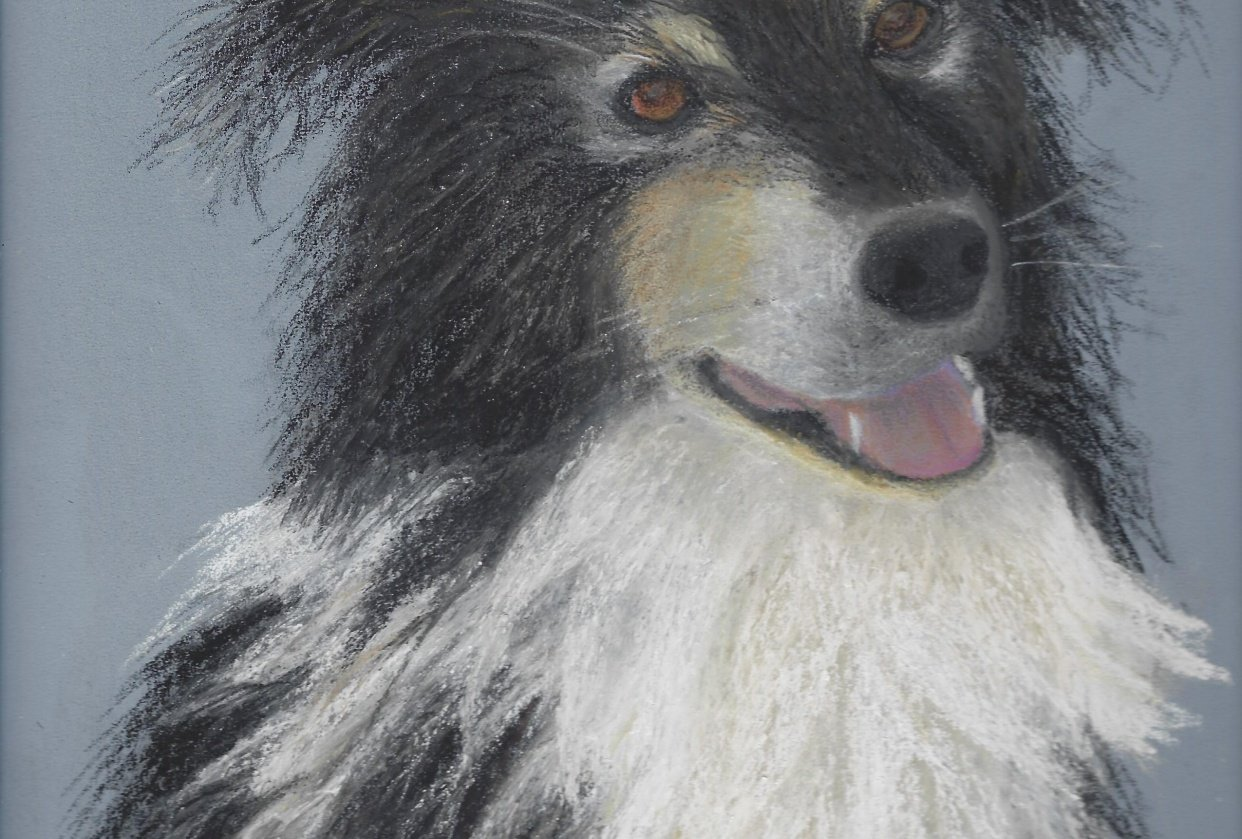 Border Collie - student project