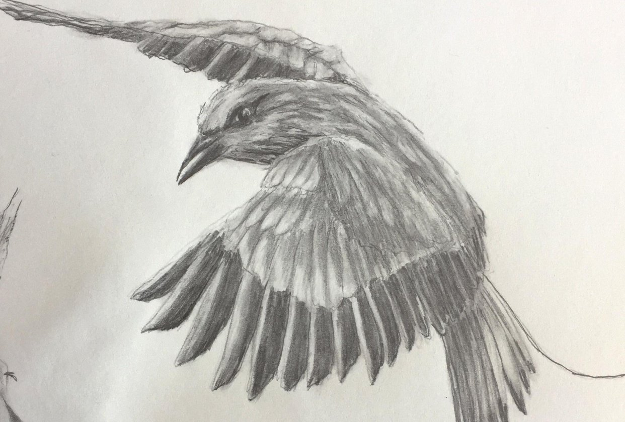 Bird Pencil Drawing - student project