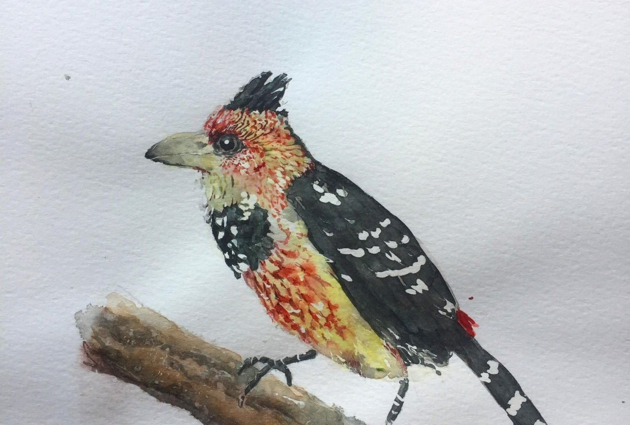 Crested Barbet Watercolour - student project