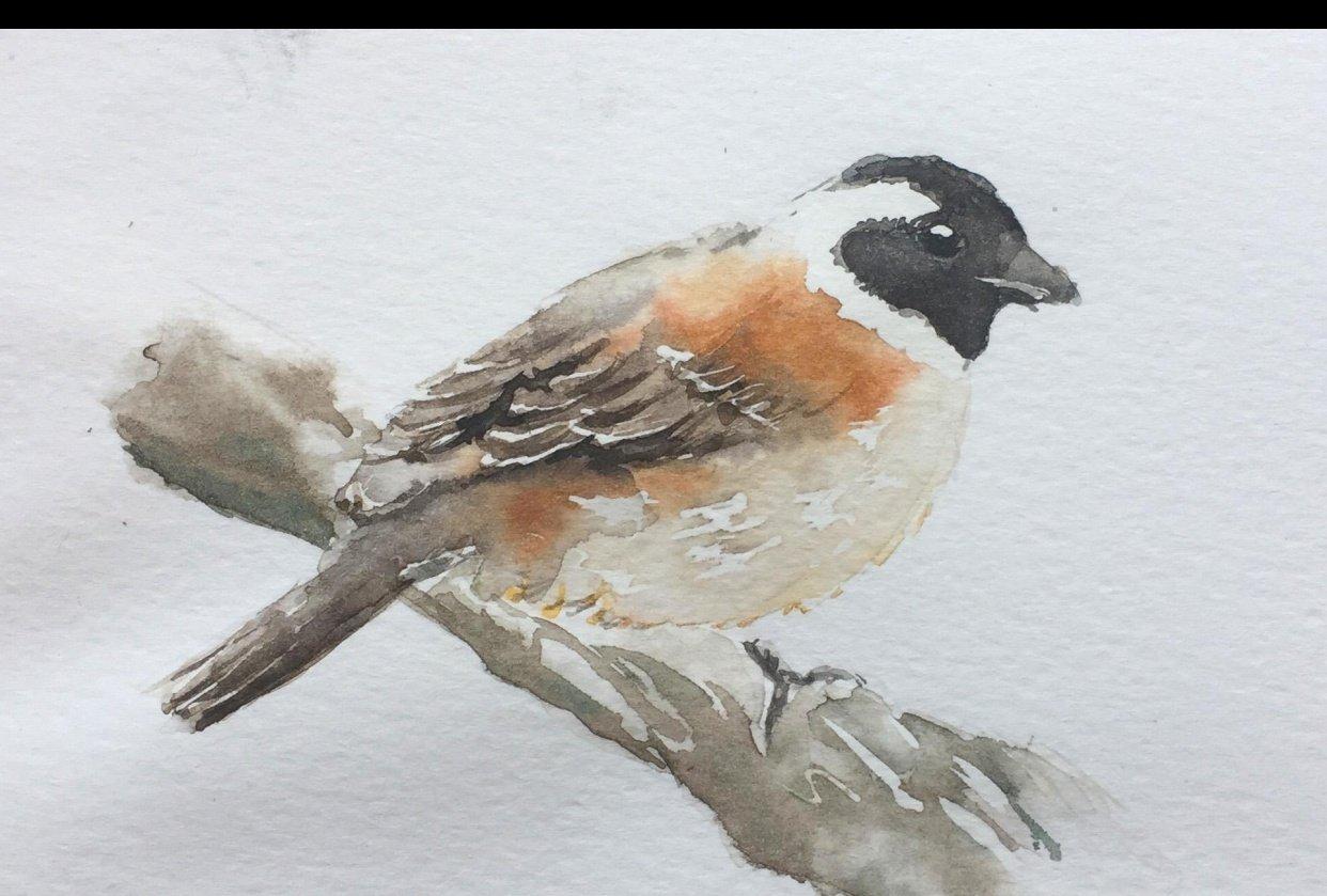 Watercolour Cape Sparrow - student project