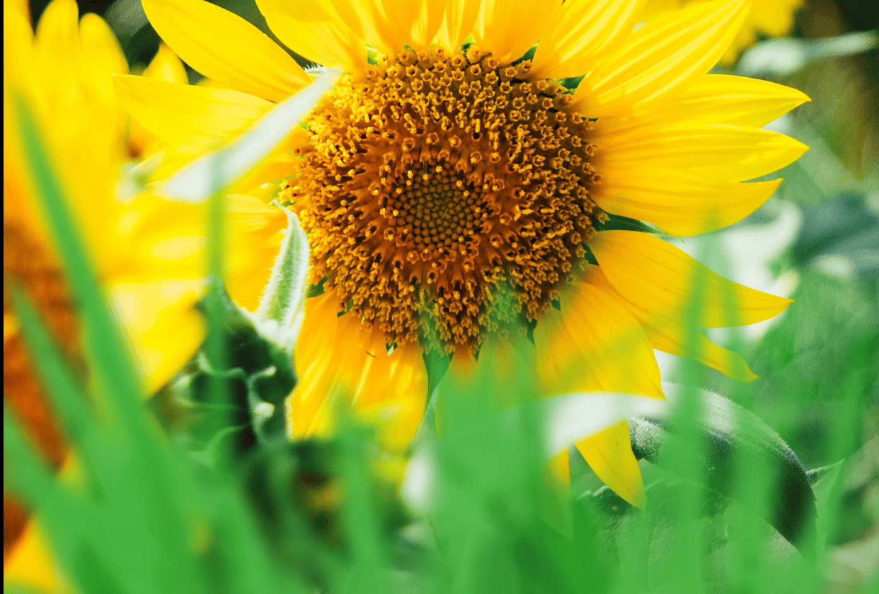 Sunflower - student project