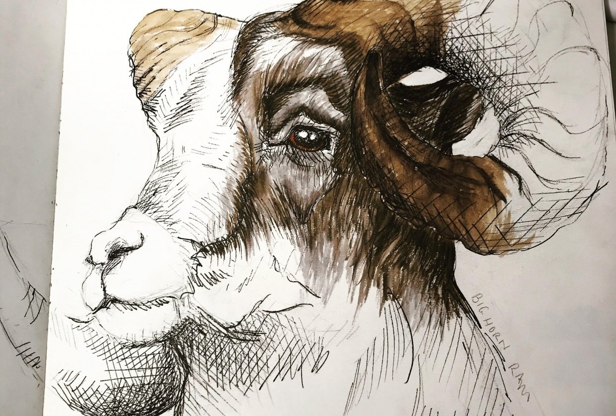 horned sheep and goat - student project