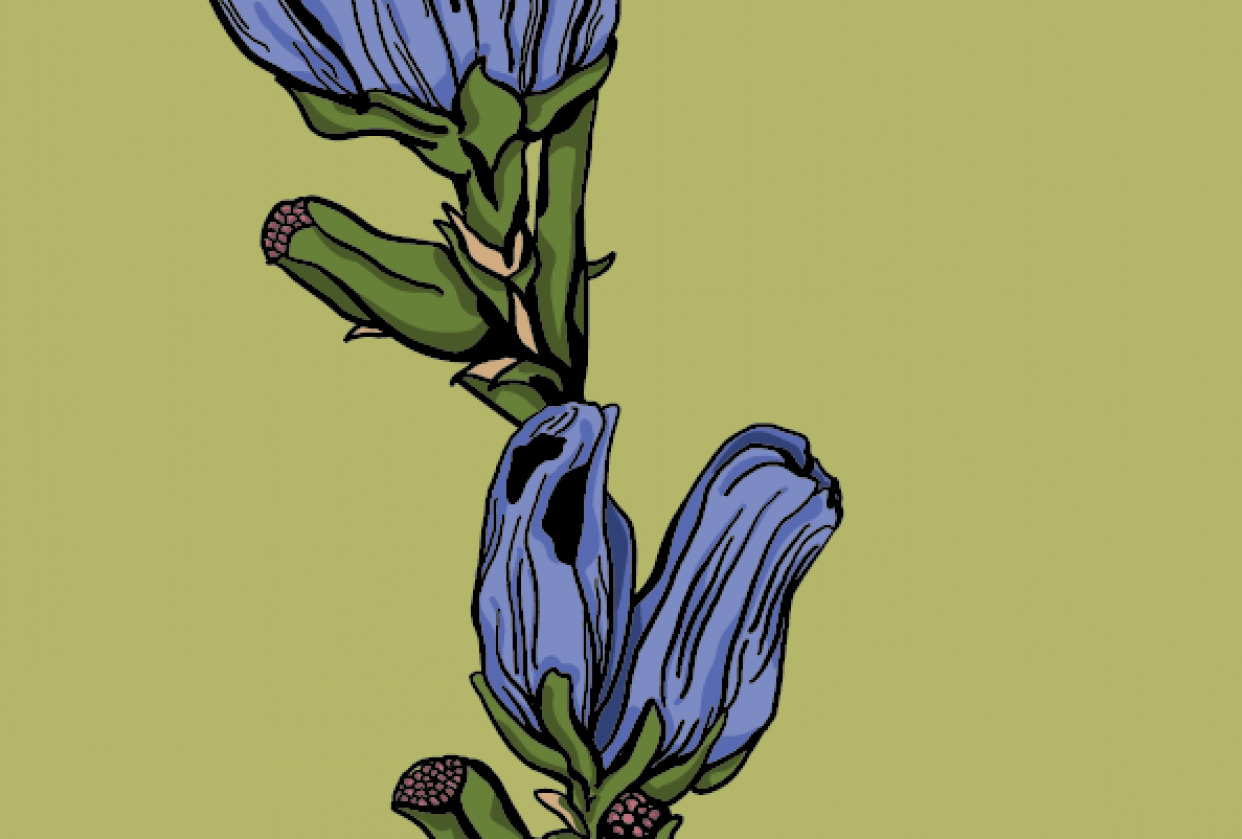 chicory flower - student project