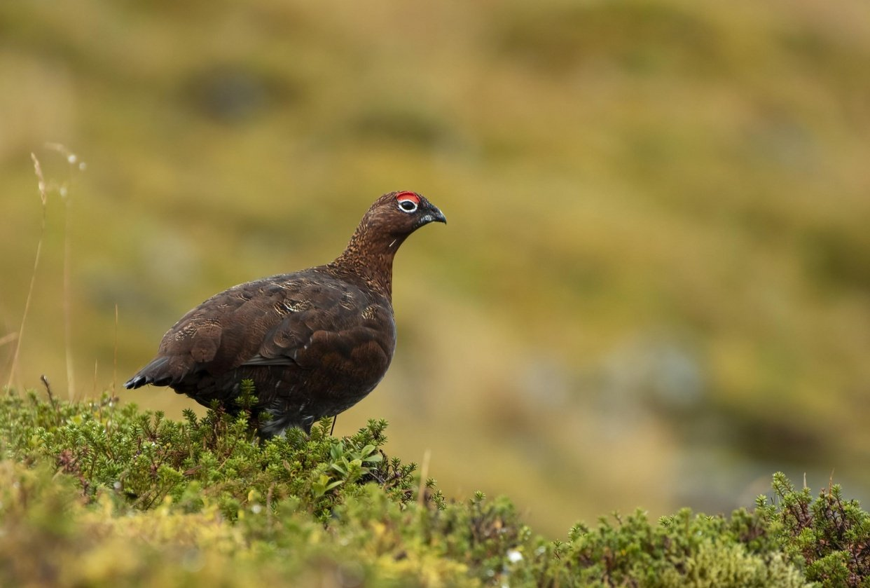 Red Grouse - student project
