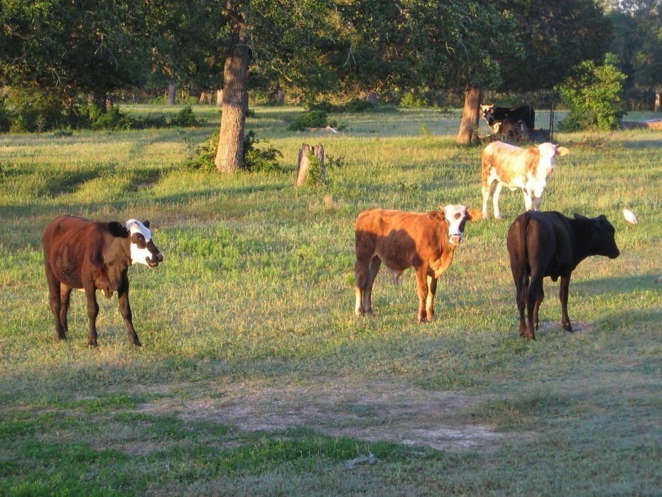 Cow Trails on 88 Ranch -- Columbus, Texas - student project