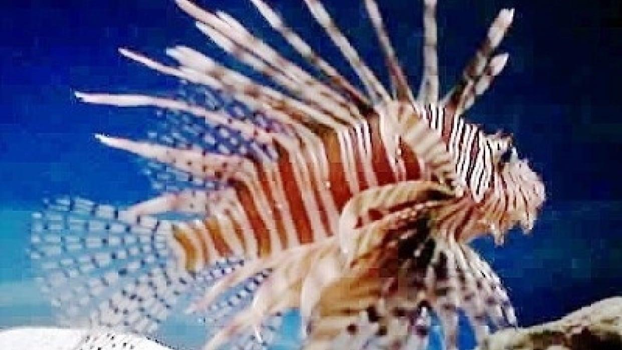 Lion Fish/Leafy Sea Dragon - student project