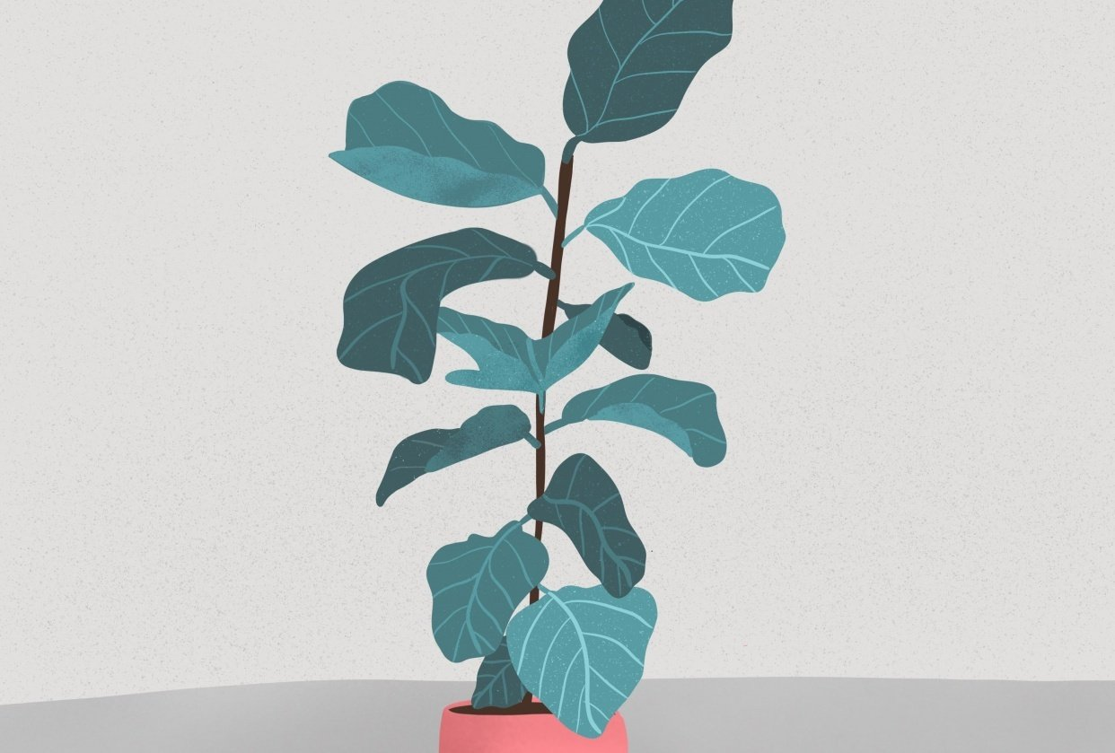 Fiddle leaf fig - student project