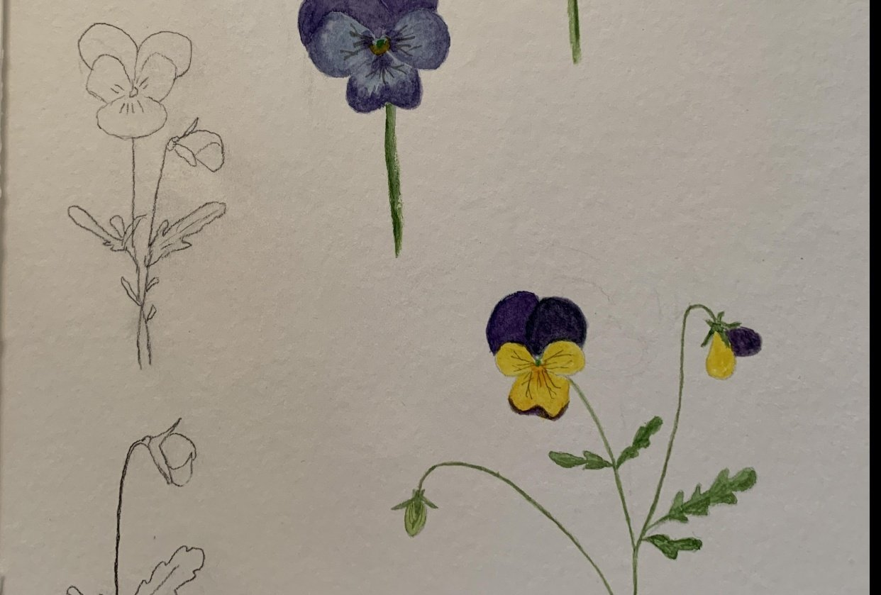 Pansy Study - student project