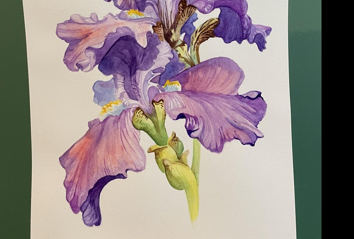Iris Watercolor - student project