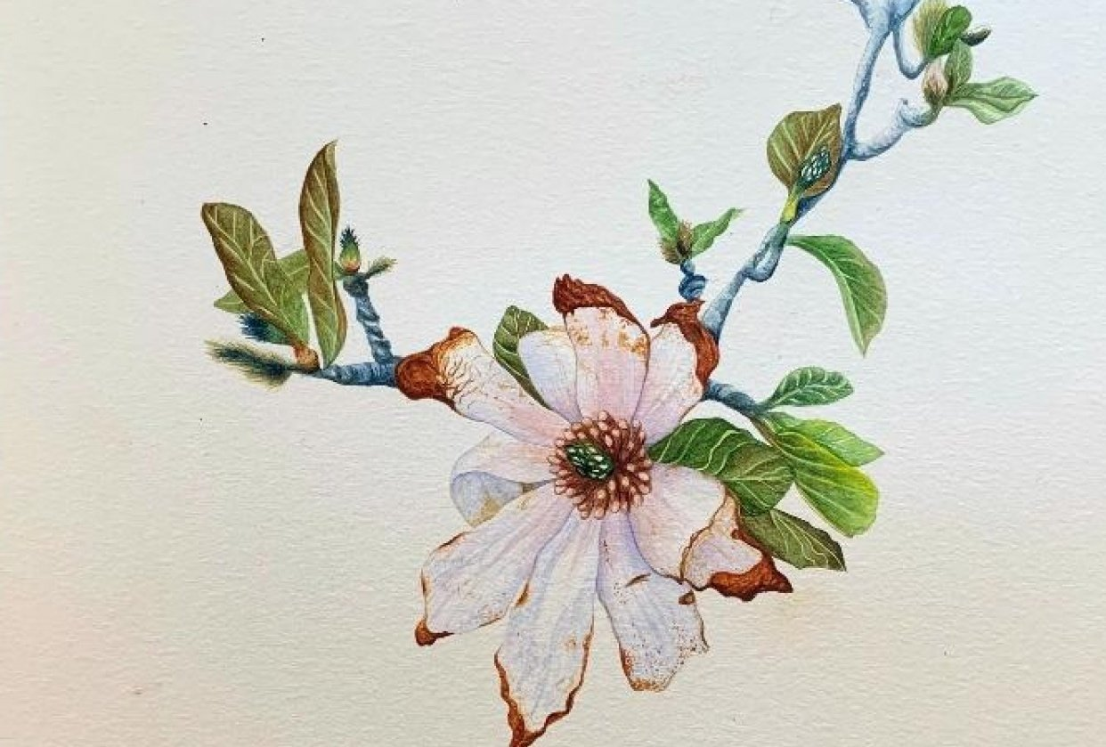 Wilting Magnolia - student project