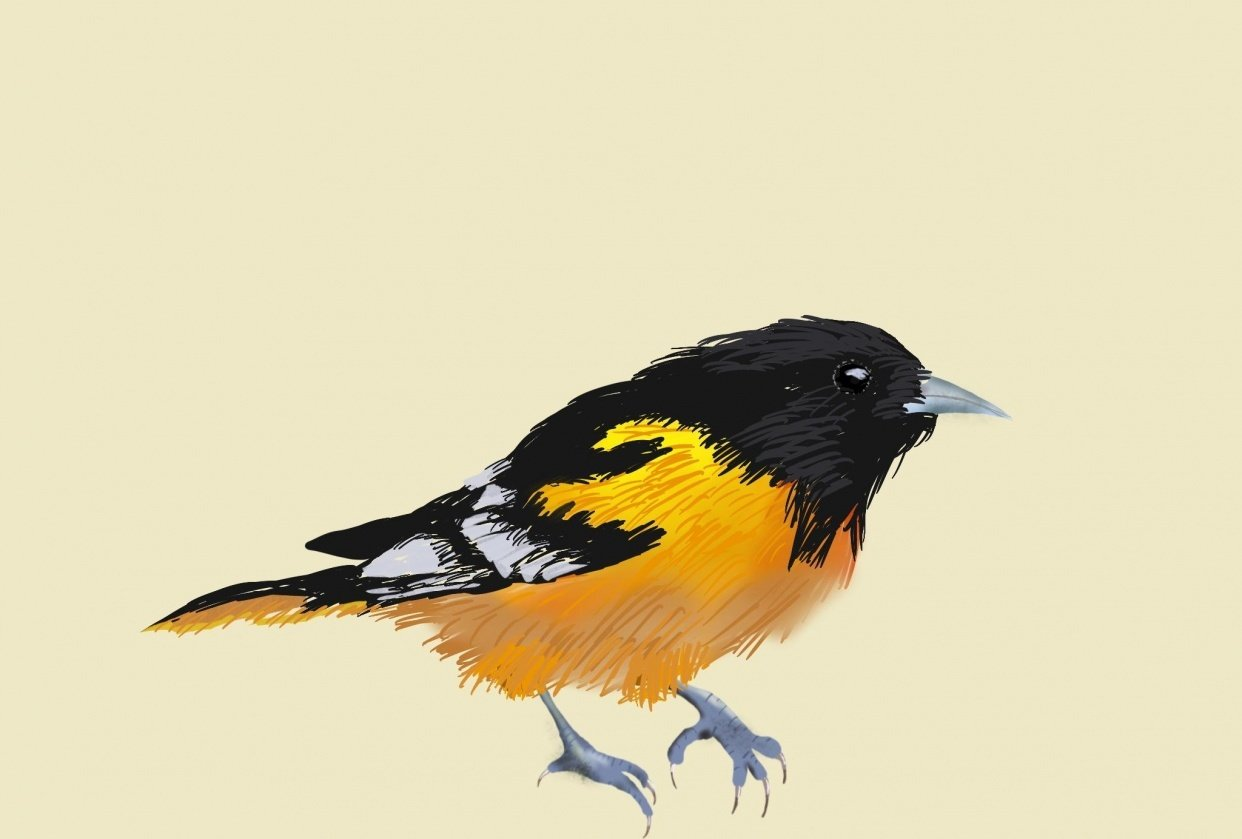 Realistic bird drawing - student project