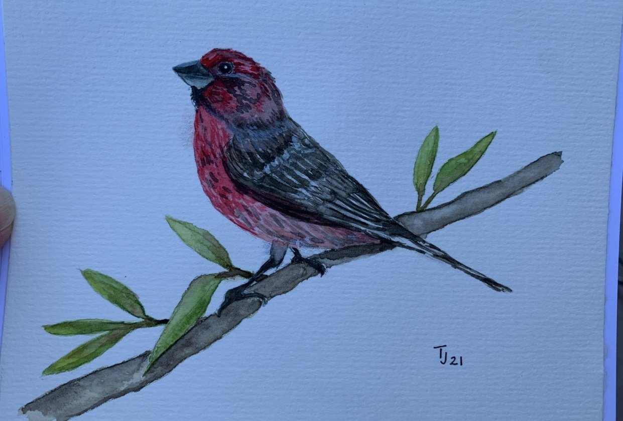 House Finch - student project