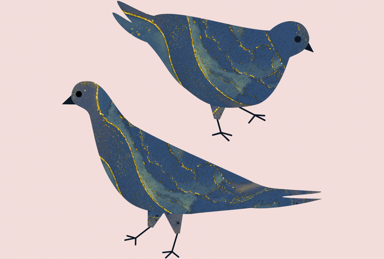 Marbled Pigeons - student project
