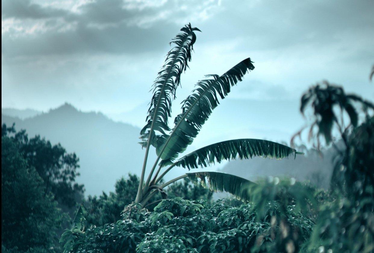 Landscape-Banana tree - student project