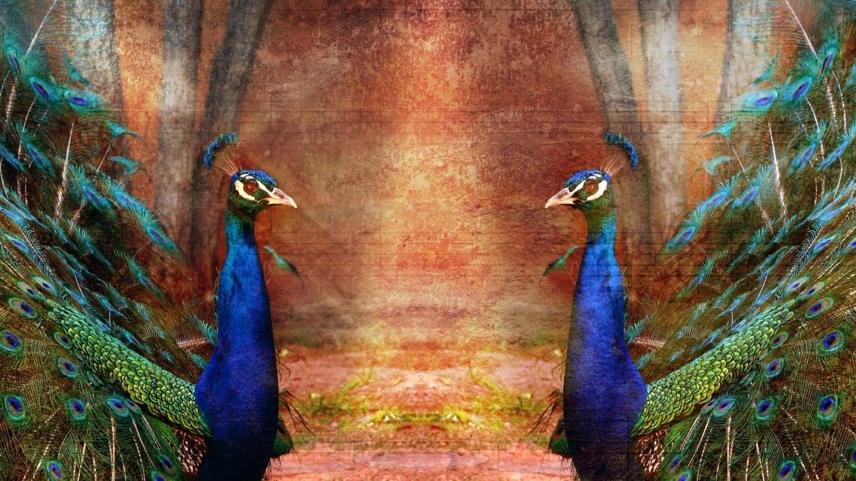 Beautiful Peacocks - student project