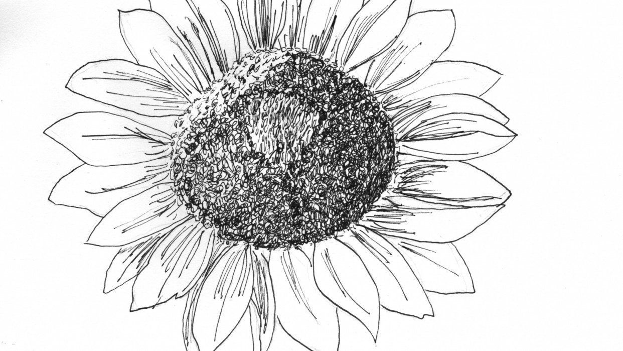 Sunflower drawing - student project