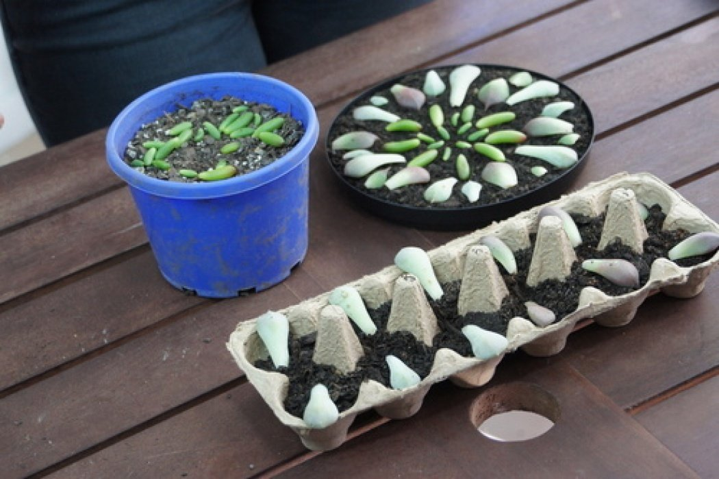 Sample project - growing succulents from leaves - student project