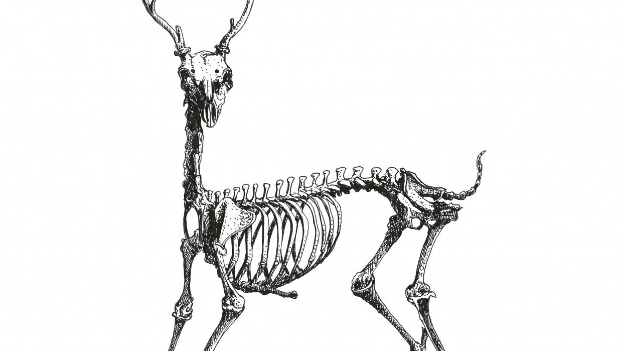 Draw a deer skeleton using ink pen - student project