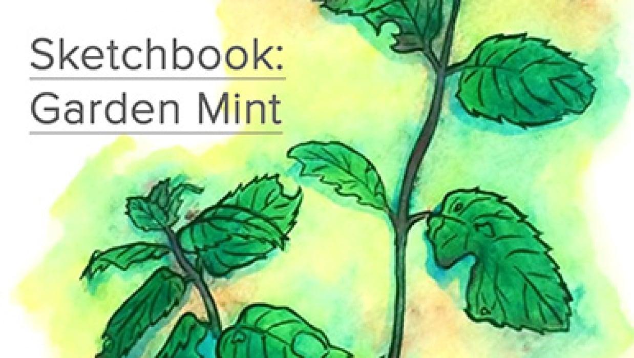 Sketchbook: Garden Mint - student project