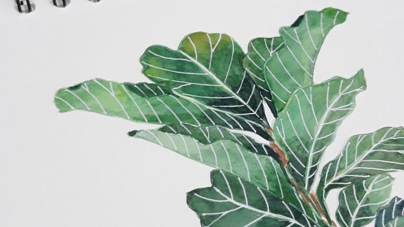 My Fiddle-leaf Fig