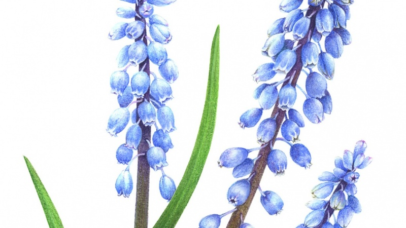 Vintage-Inspired grape-hyacinth