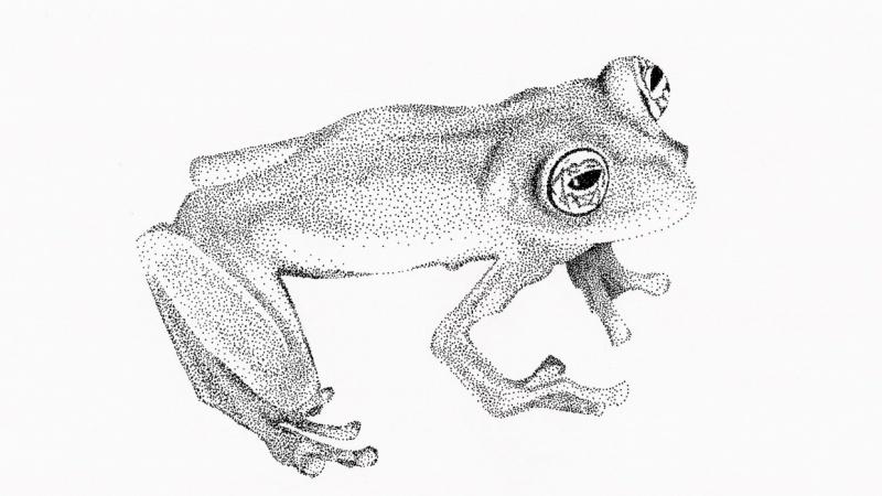 Limon Giant Glass Frog