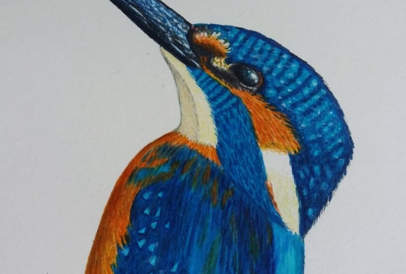 Kingfisher in pencil