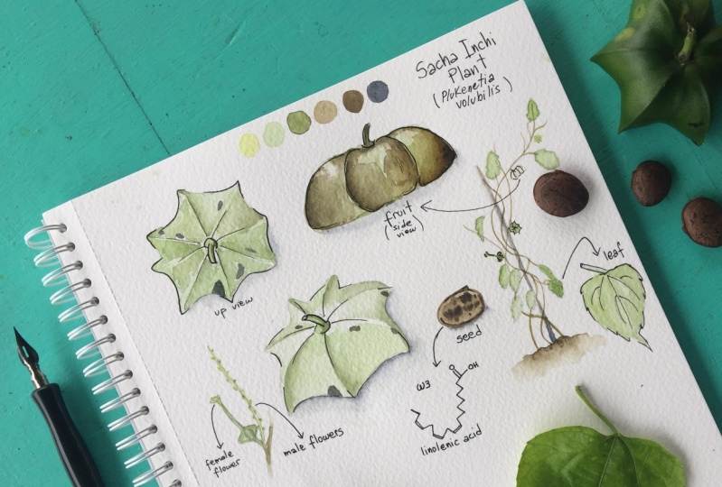Amazonian sketching: Sacha Inchi