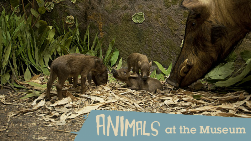 Animals at the Museum: A mobile app for the Field Museum's Hall of Animals