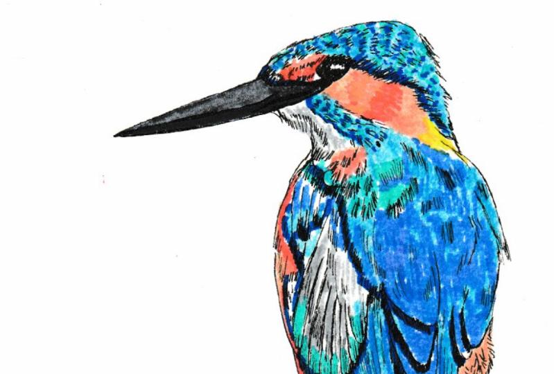 Kingfisher Illustration