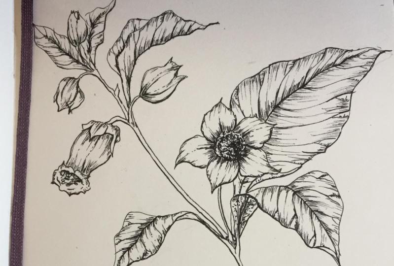 Line Drawing | The art of Botanical Illustration