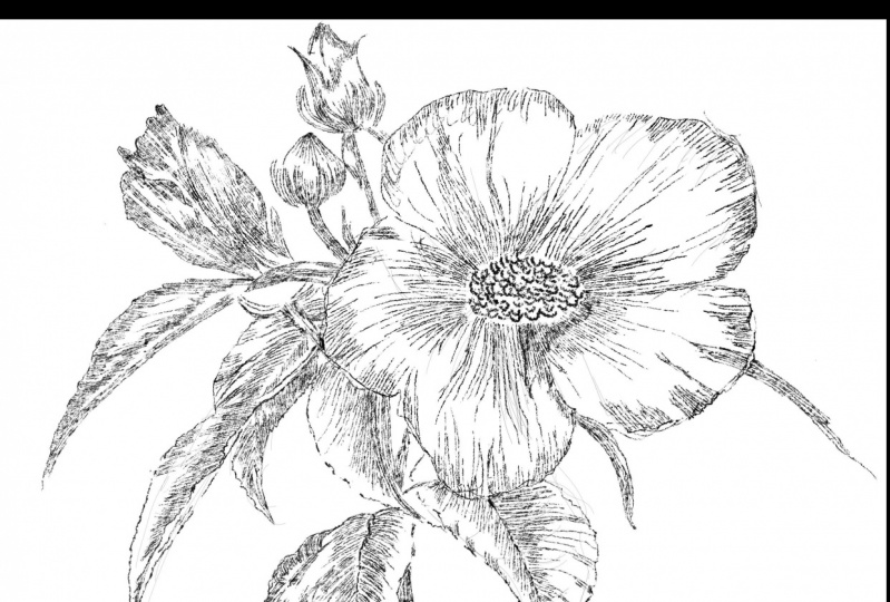 Pansy Line Drawing
