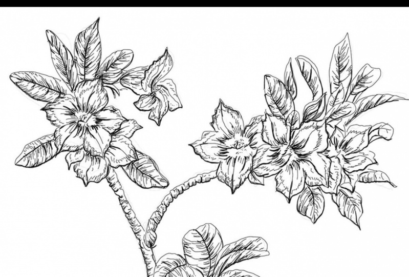 Botanical Line Illustrations | South African Plants (1)
