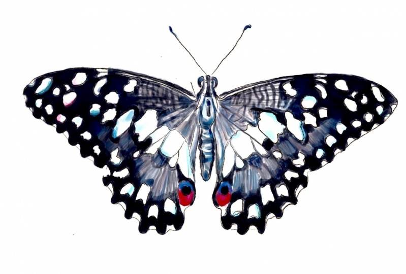 Drawing and Coloring Butterfly