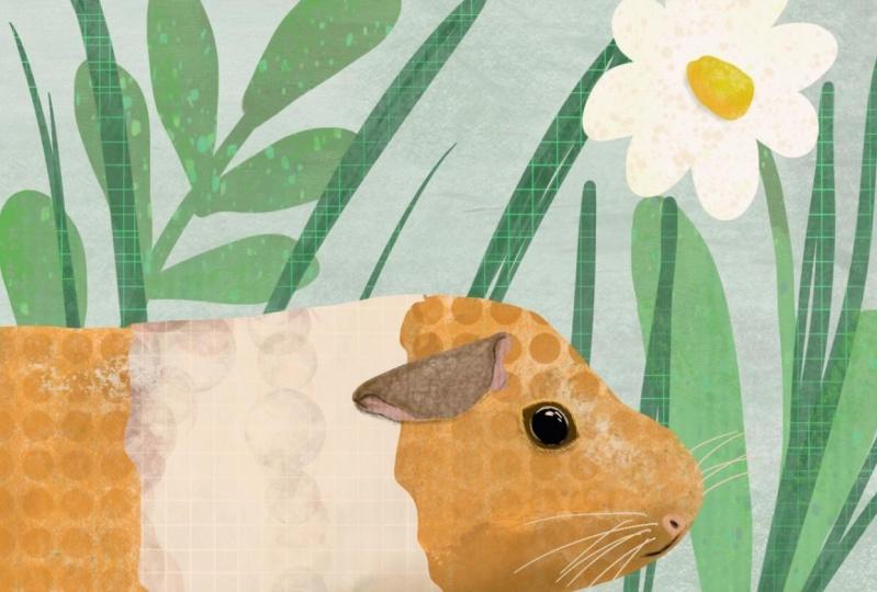 collage guinea pig
