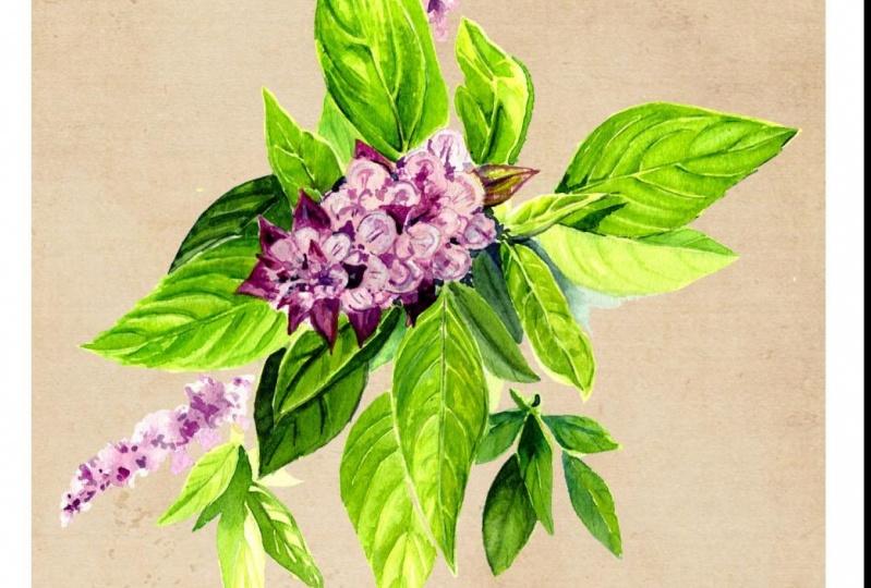 Flowering Herbs in Watercolors (WIP)