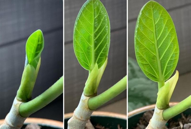 New Growth - Ficus Audrey and Stephania Erecta