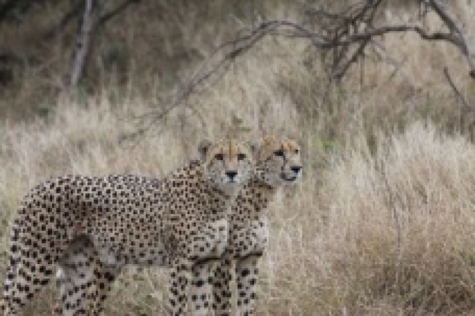 Brothers - Phinda , South Africa