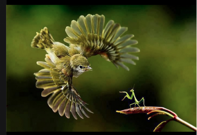Bird versus praying mantis
