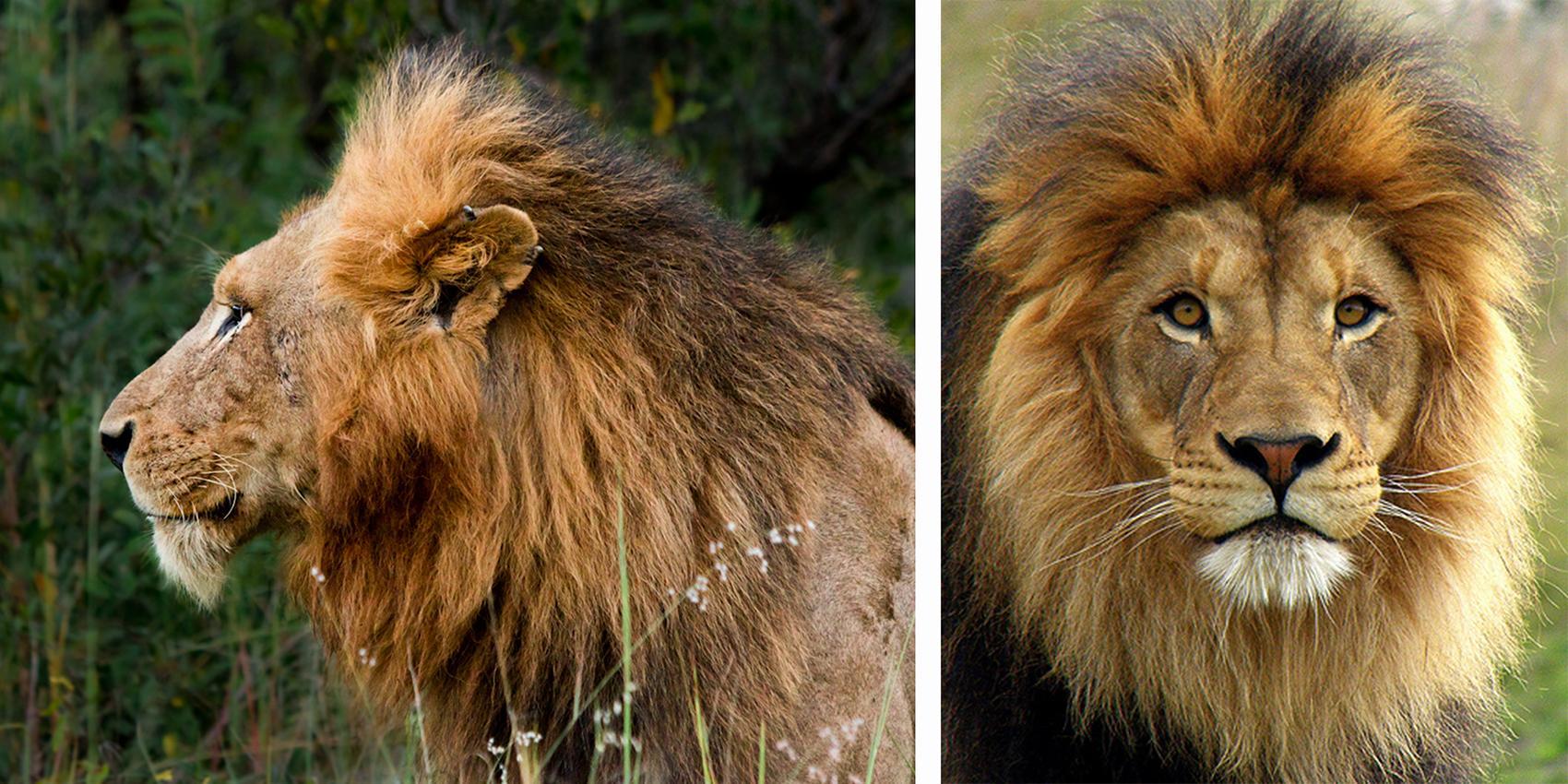 lion profile - DriverLayer Search Engine