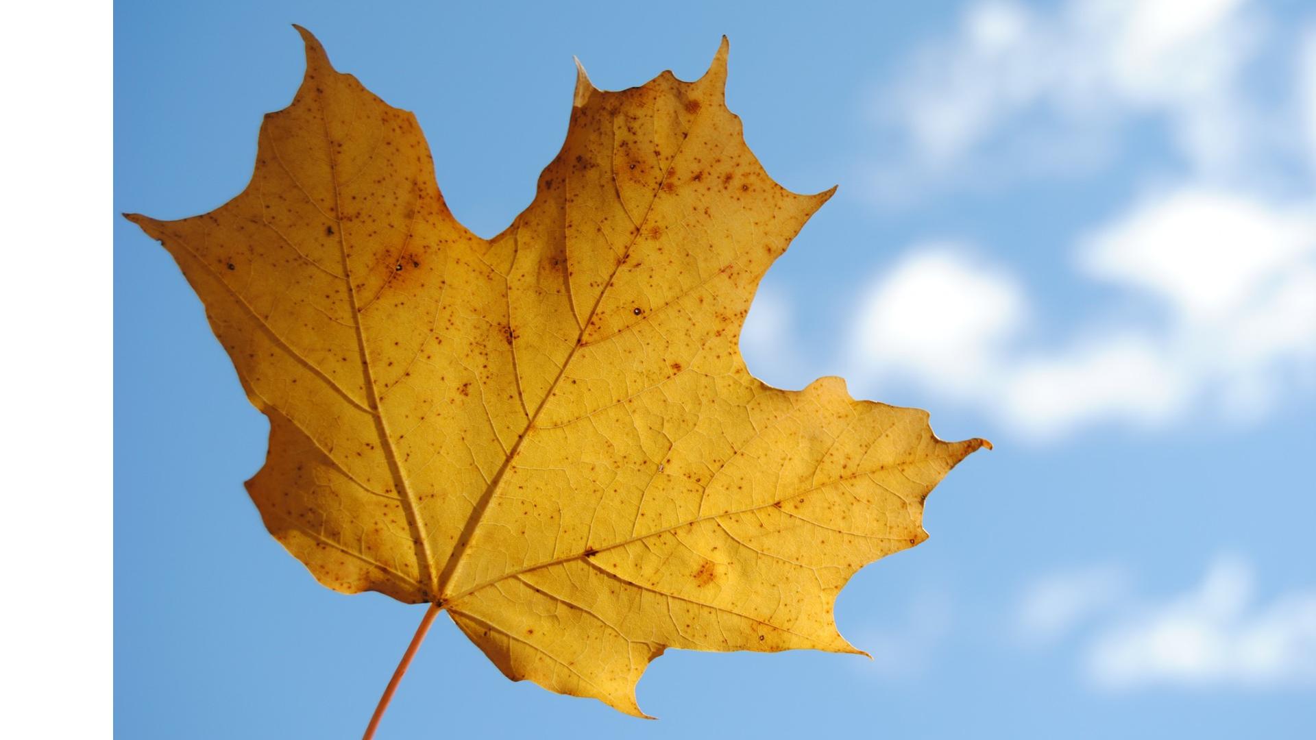 Желтые листья картинки на белом фоне, сднем рождения.отправить открытка