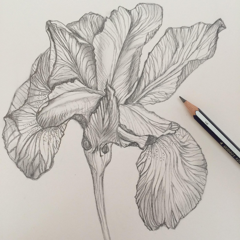 Magical iris floral study skillshare projects e001a9d6 izmirmasajfo